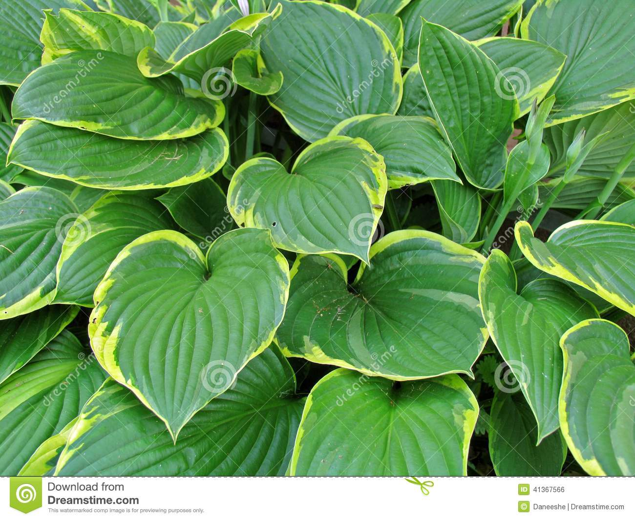 Large Leaf Houseplant Hosta Stock Photo Image Of Leaf Plant Large Leaves