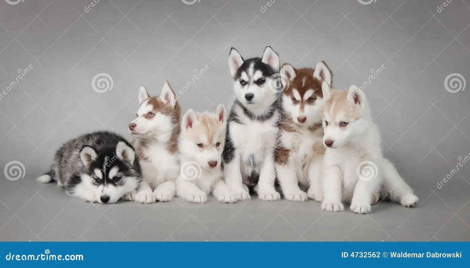 Cute Baby Attitude Wallpaper Husky Dog Puppies Stock Photography Image 4732562