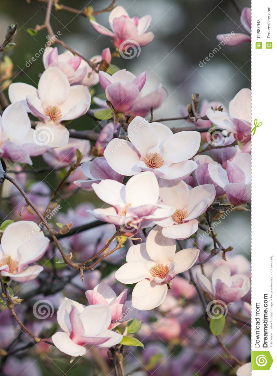 Beautiful Pictures Of Flowers Beauty Natural Beautiful Season Nature Magnolia Flower