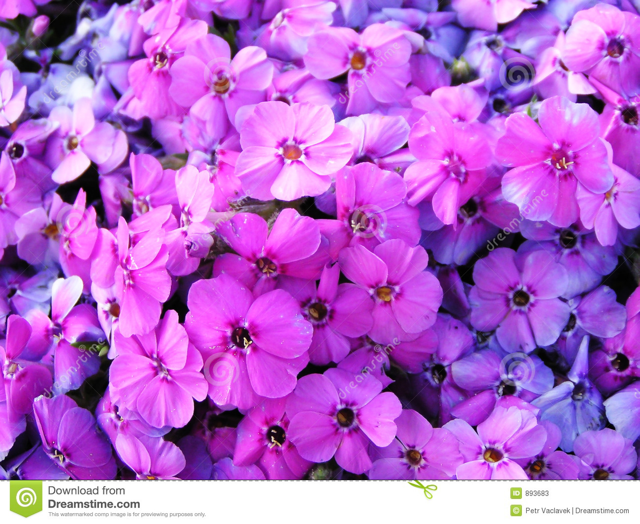 Violet Flower Hd Wallpaper Image Full Of Violet Flowers Stock Image Image Of
