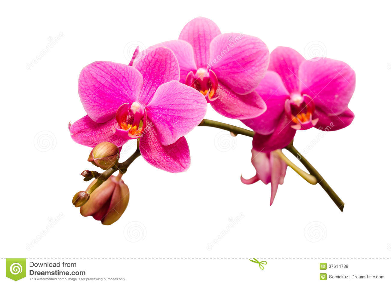 Orchidee Tak Isolated On White Single Branch Of Purple Orchid Flower