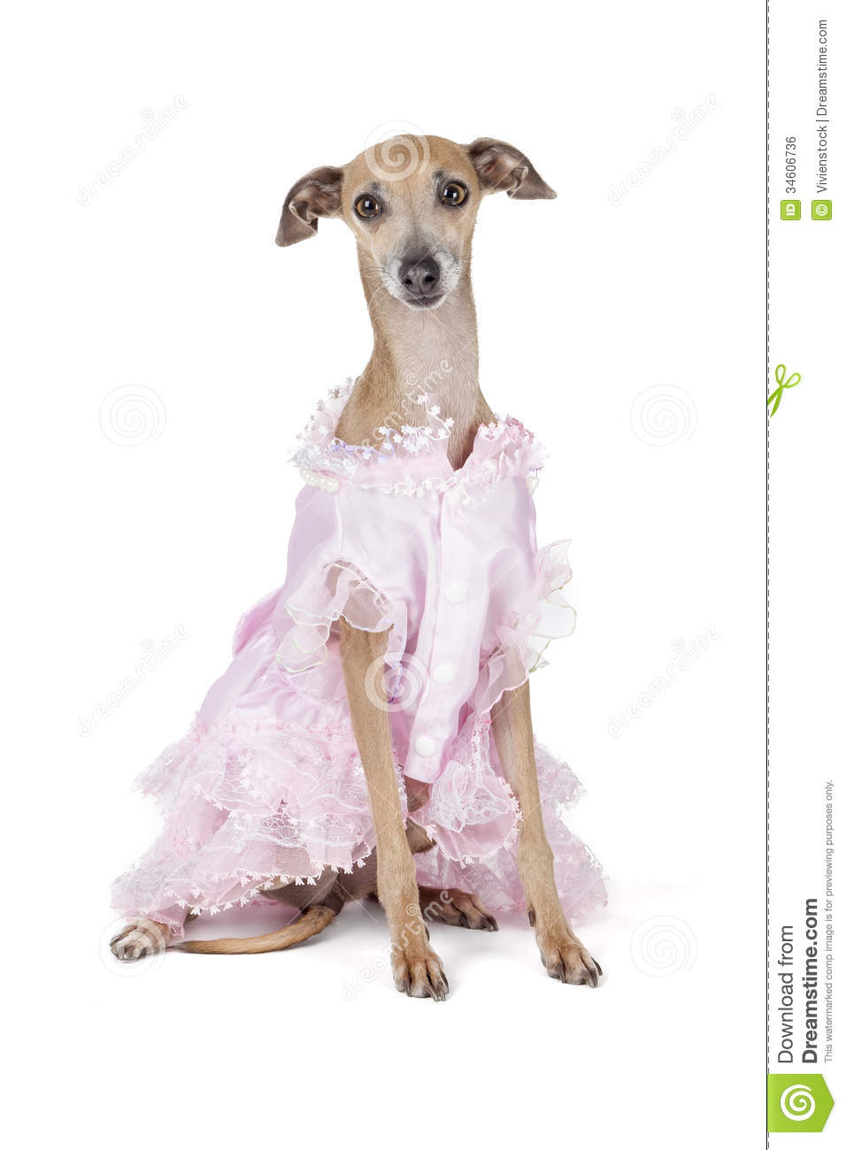 Italian greyhound in a dress on a white background in studio