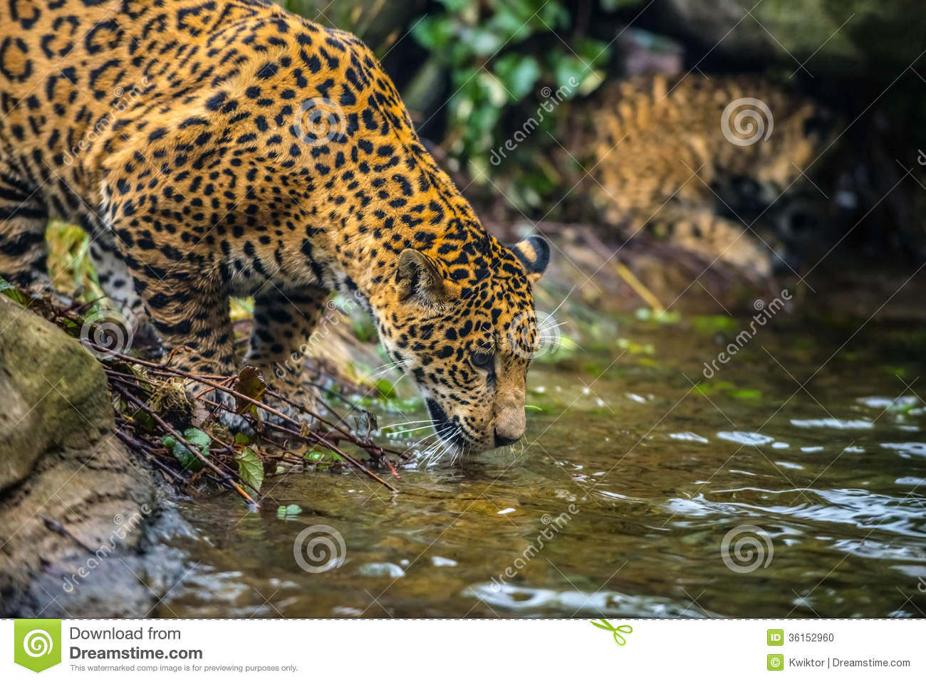 Colorful Animal Print Wallpaper Jaguar In The Jungle Stock Photo Image Of Animal Mammal