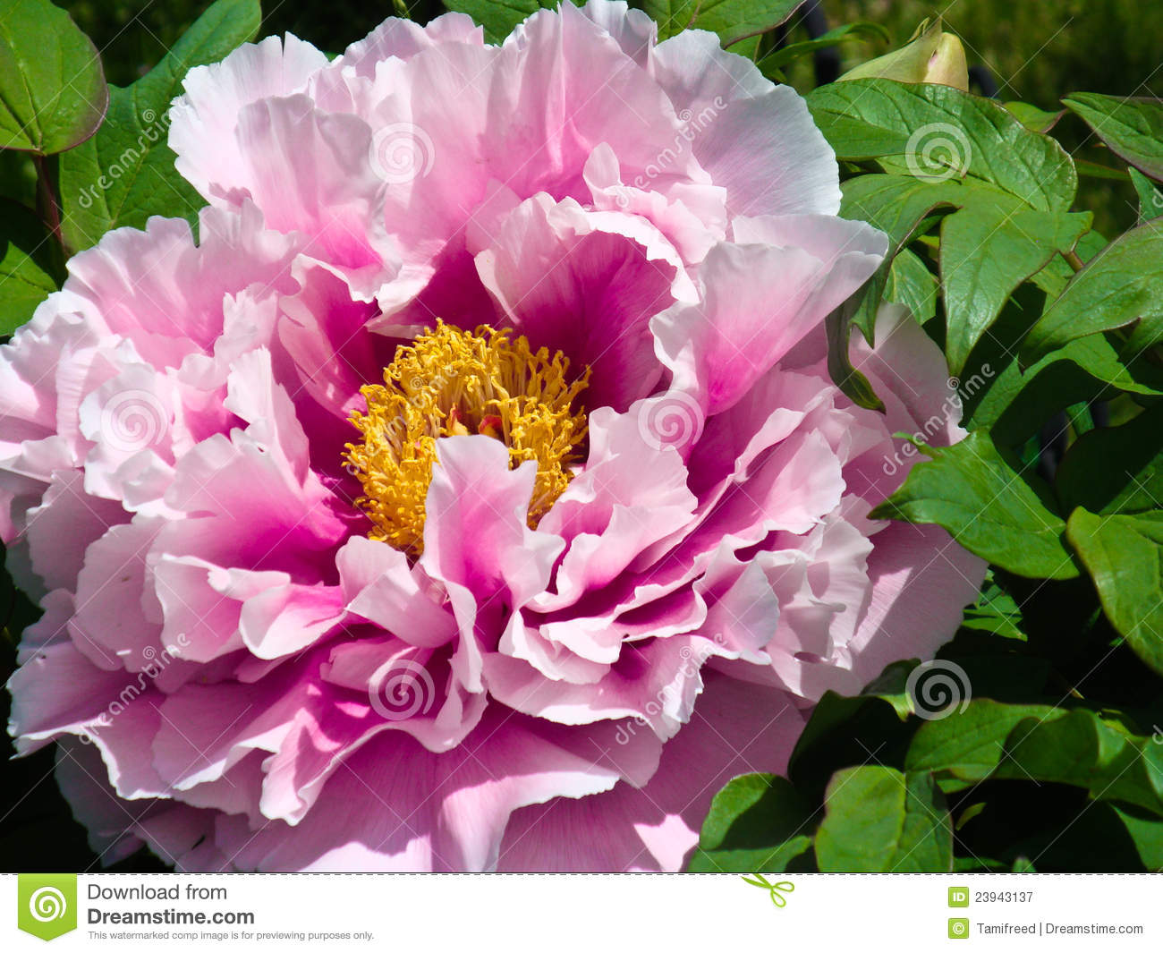 Pianese Flowers Japanese Peony Flower Stock Image Image Of Florist Outside
