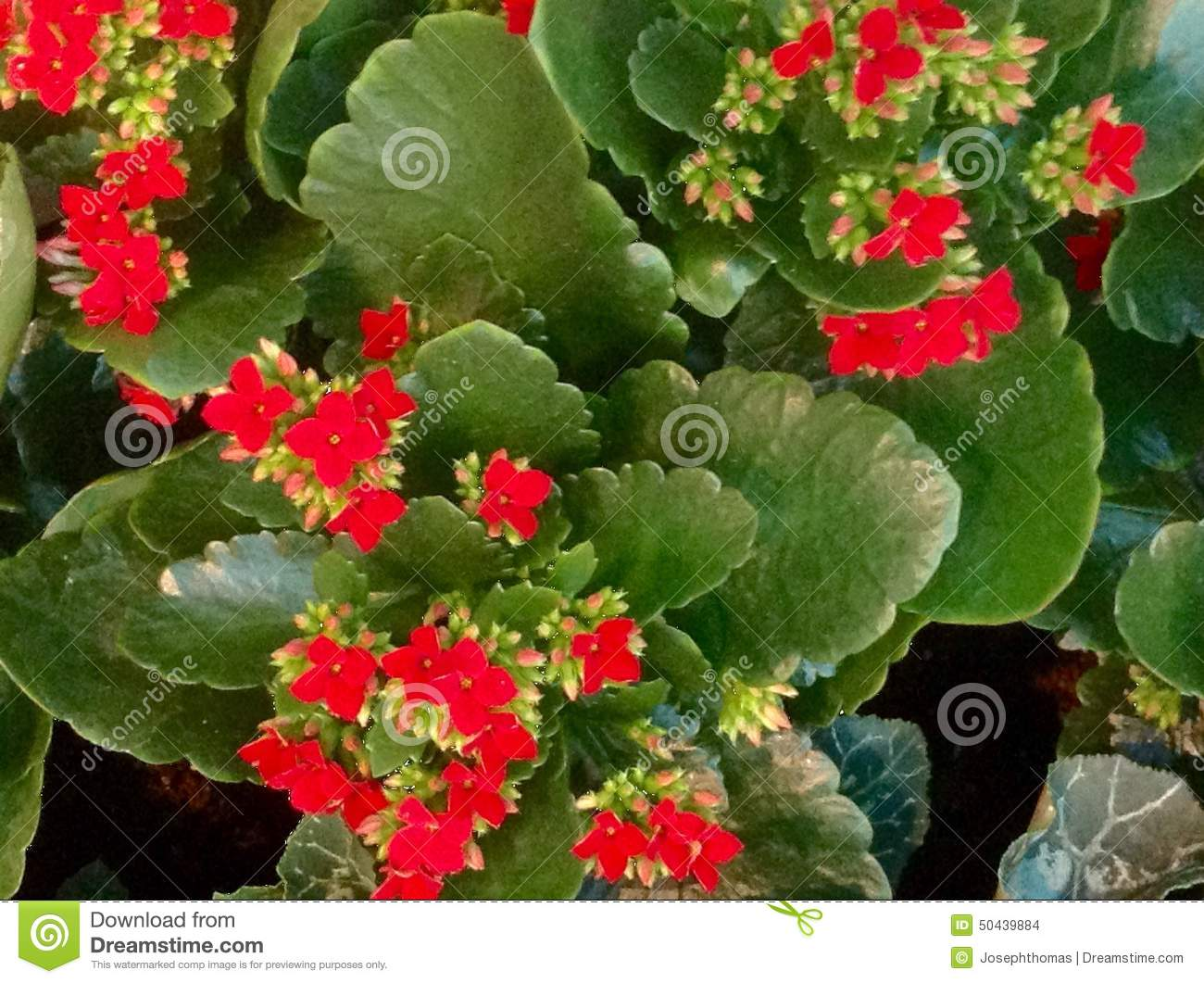 Pictures Of Flowering House Plants Kalanchoe Red Flower Texture Stock Photo Image Of Happy