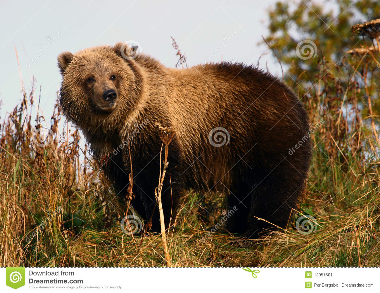 Kodiak Brown Bear Cop Stock Image Image Of Fishing Brown