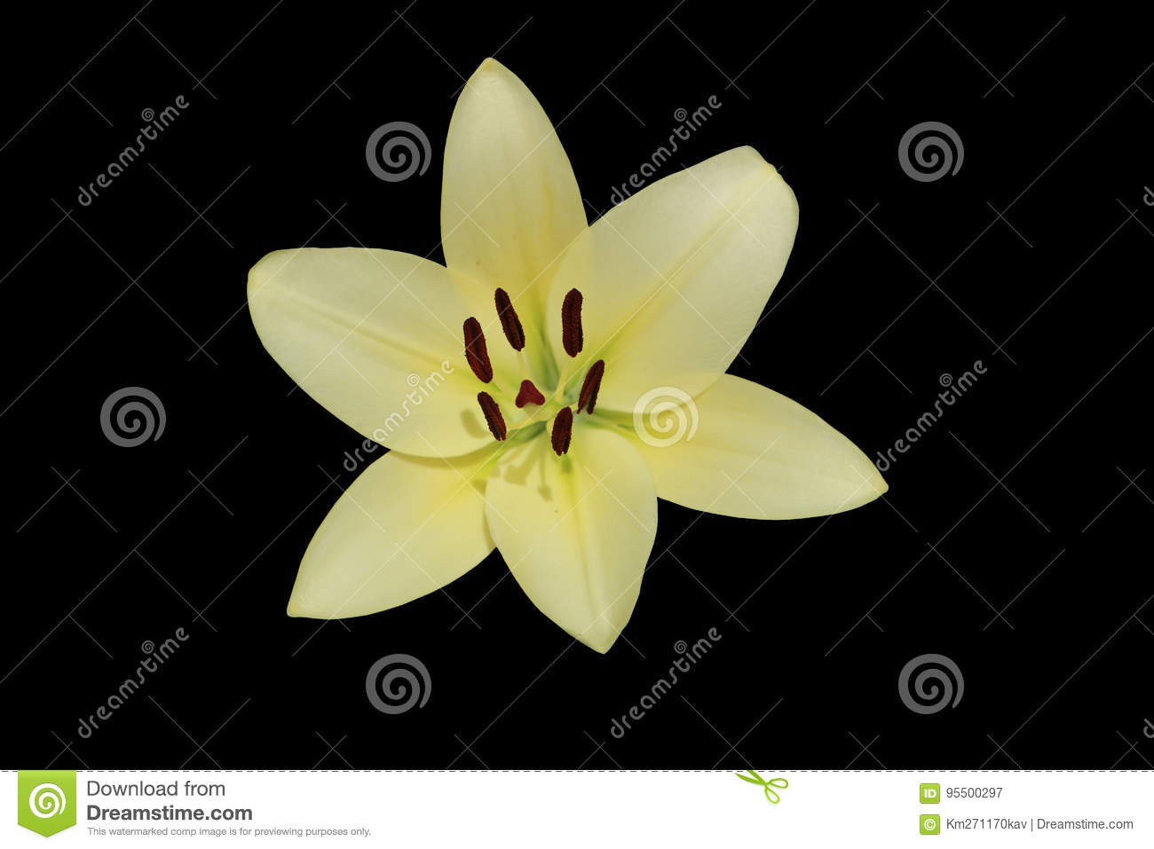L A Hybrid Lilie Courier Large White Lime Flower Isolated On Stock Image Image Of Lilie Courier 95500297