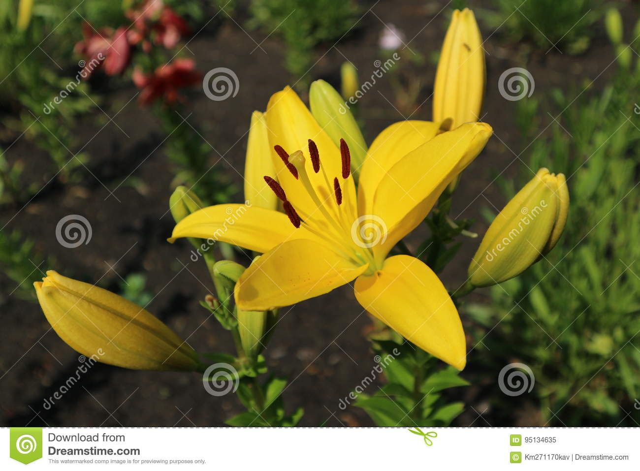 L A Hybrid Lilie Serrada Large Sunny Yellow Flower And Buds Stock Image Image Of Flower Large 95134635