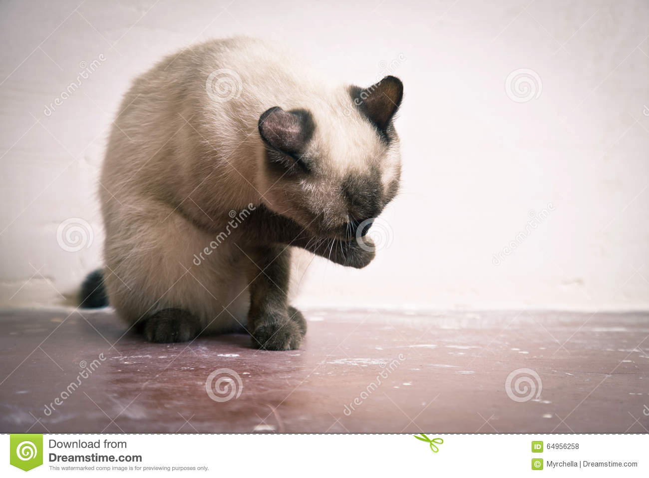 Laver Son Chat La Race Thaïlandaise De Chat Lave Son Museau Photo Stock Image
