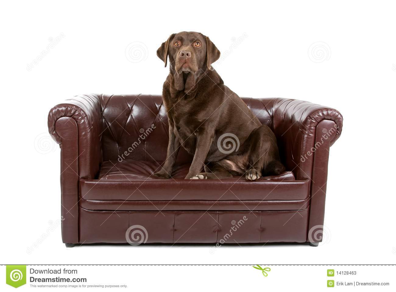 Chesterfield Sofa Brown Leather Labrador Dog On Leather Couch Stock Image - Image Of