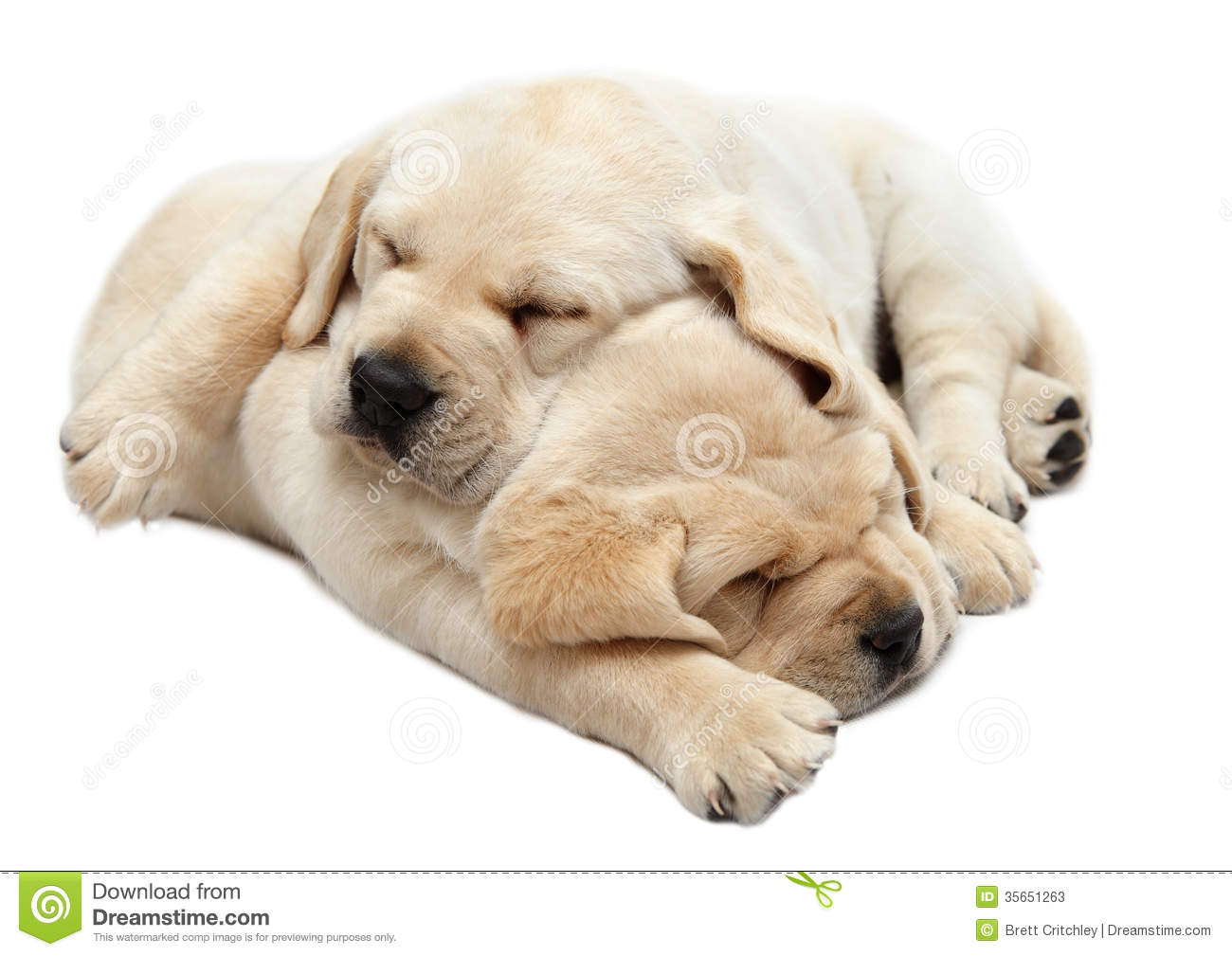 Pink Wallpaper With Cute Puppy Golden Retriever Labrador Puppies Sleeping Stock Image Image Of Cuddles