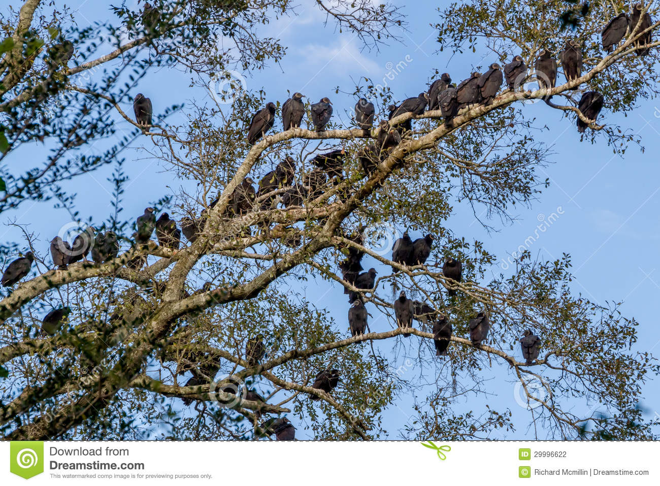 Large number of buzzards social birds of opportunity