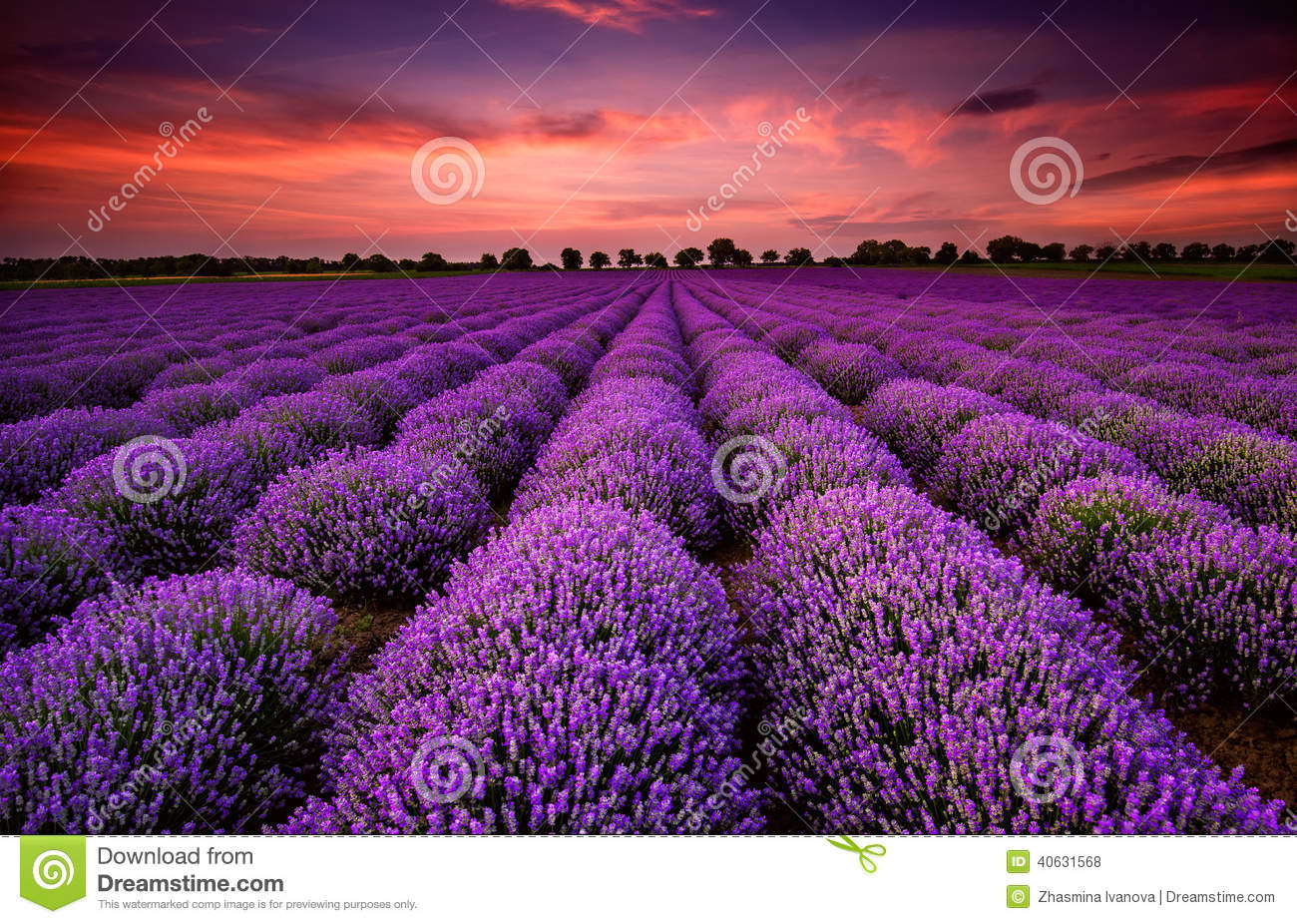 Fall Color Wallpaper For Desktop Lavender Field At Sunset Stock Photo Image 40631568