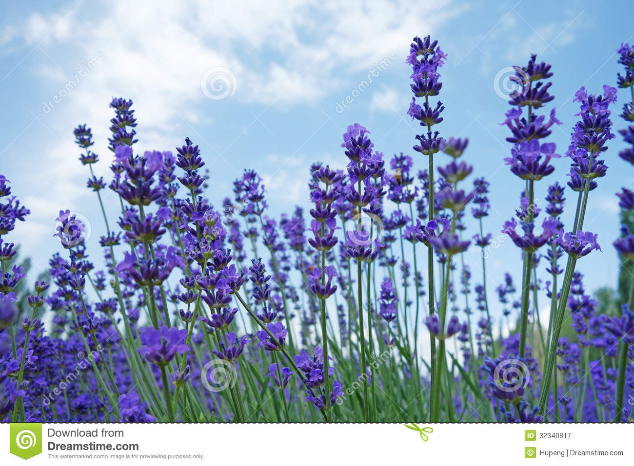 Lavendel Küchenrückwand Lavender Flowers In Summer Royalty Free Stock Photography