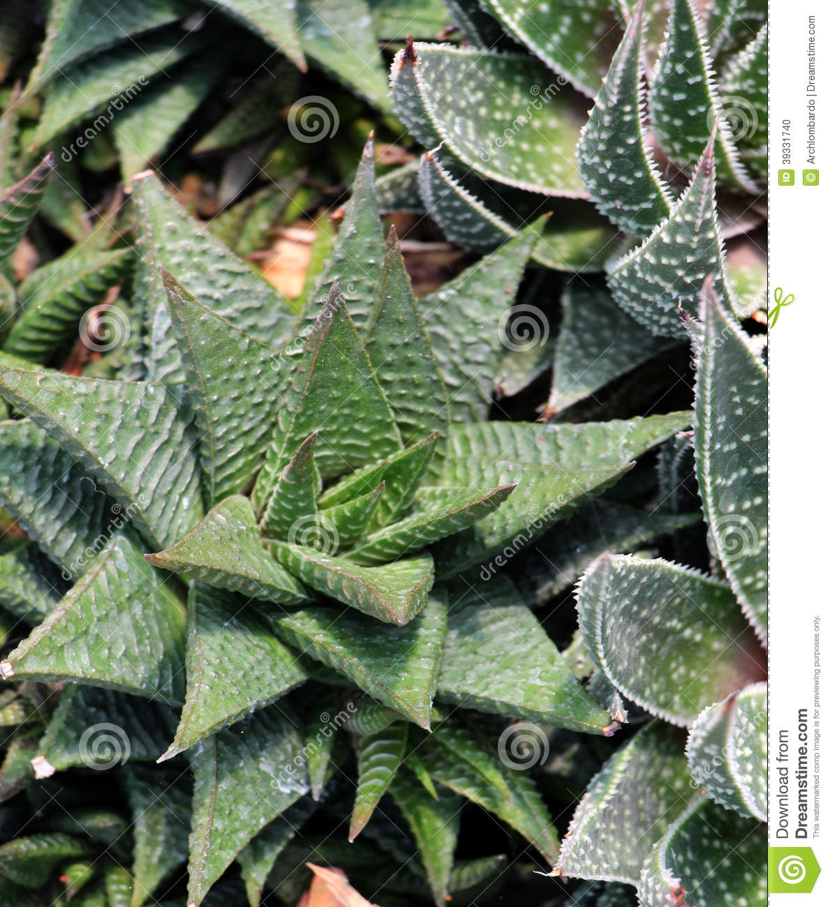 Nuance Decoration Leaves Of A Succulent, Detail Stock Photo - Image: 39331740