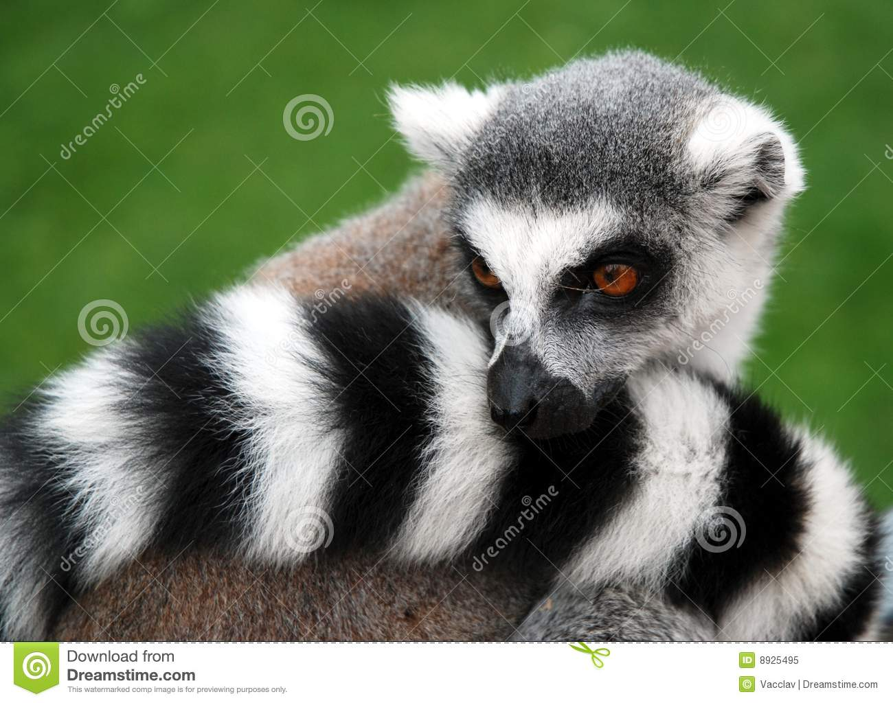 Maki Animale Lemur Animal Royalty Free Stock Photo Image 8925495