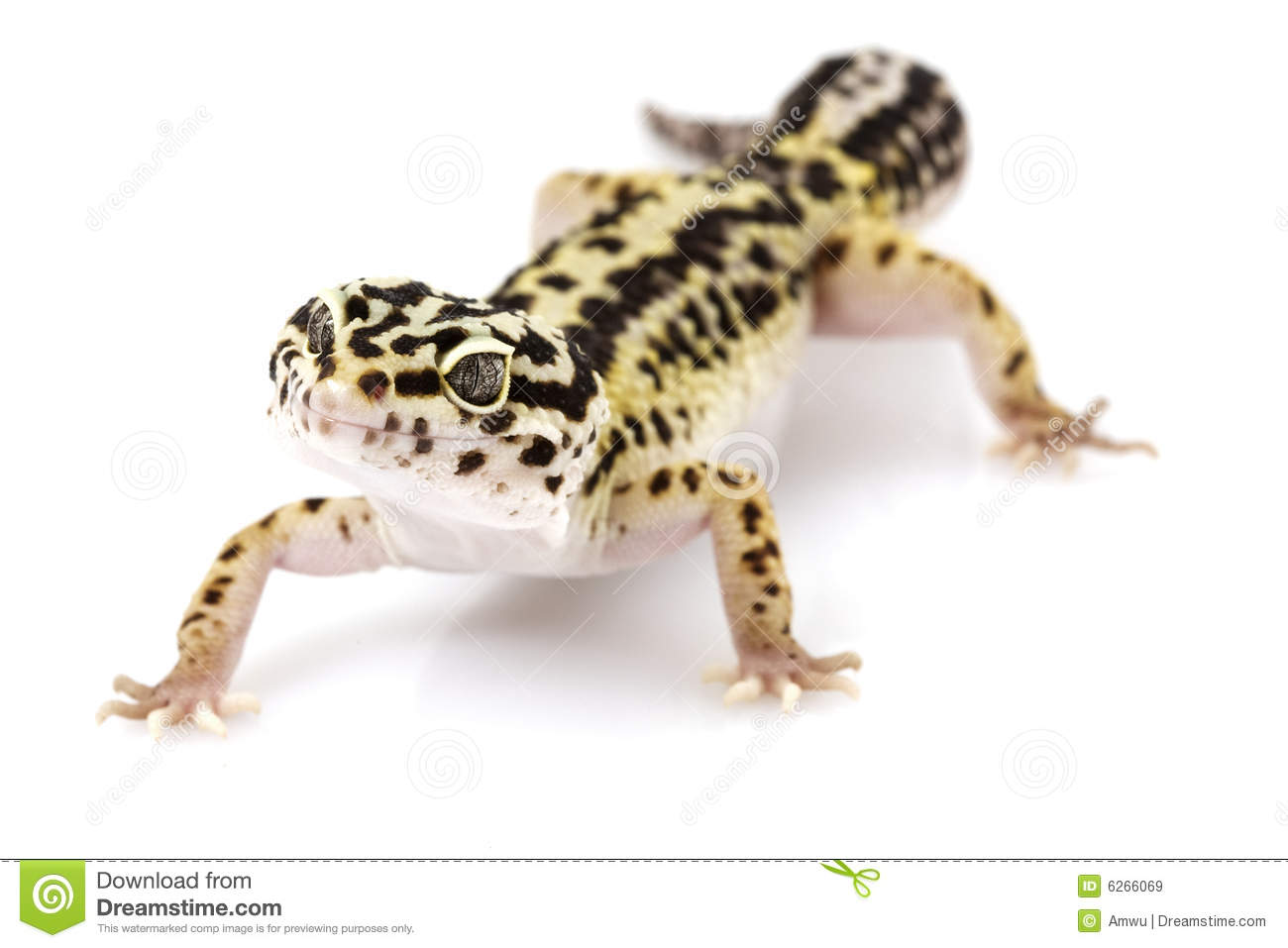 Leopard Animal Print Wallpaper Leopard Gecko Royalty Free Stock Images Image 6266069