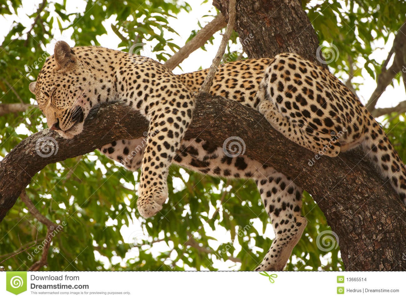Cute Baby Sleeping Wallpapers Leopard Sleeping On The Tree Stock Images Image 13665514