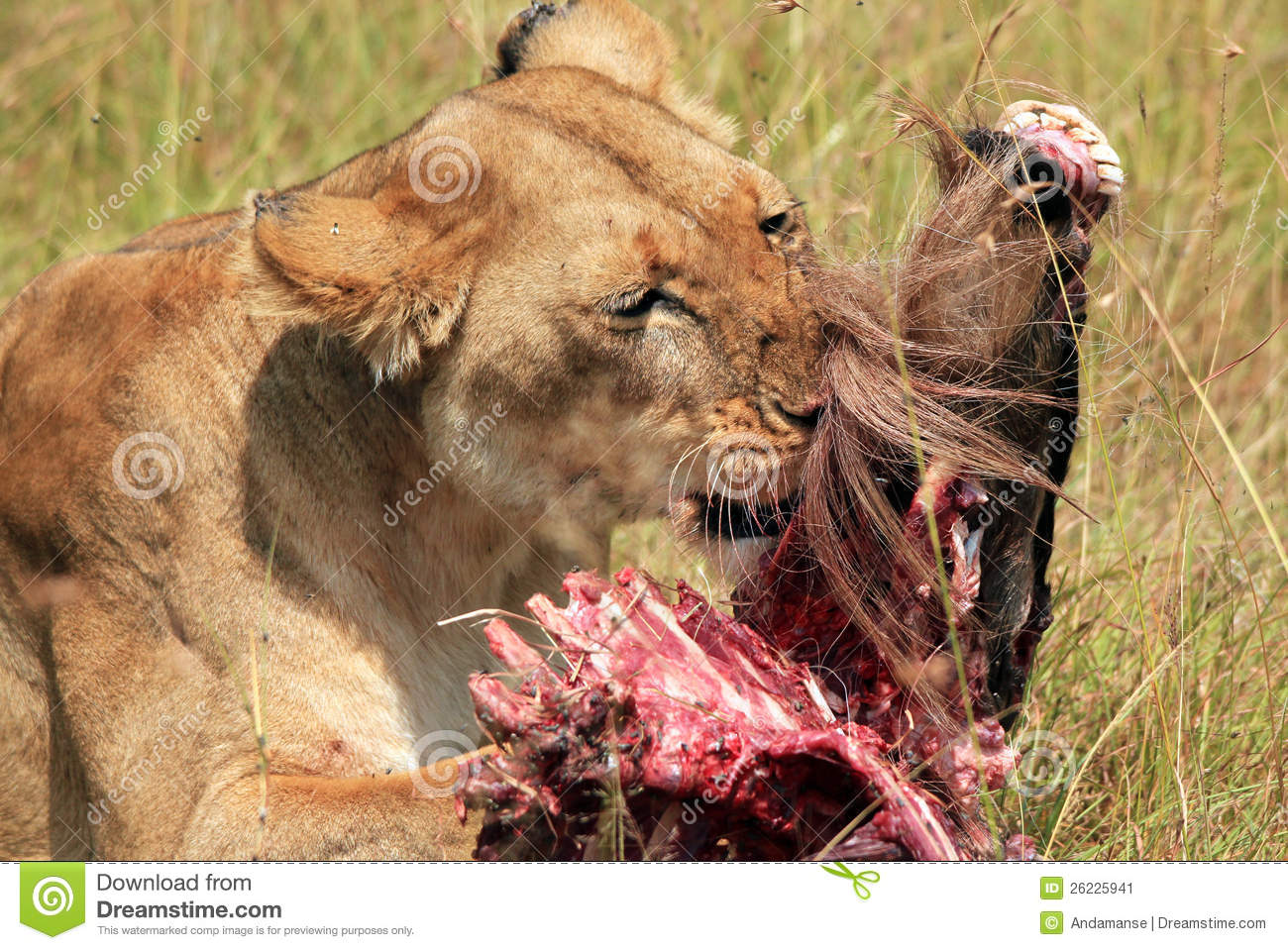 Action Leeuwen Lion With Prey Stock Image - Image: 26225941