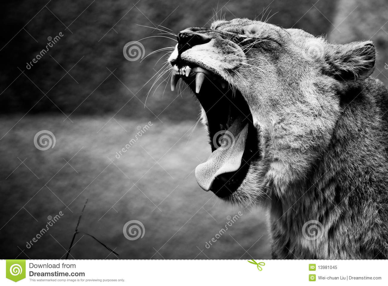 3d Black Jaguar Wallpaper Lion Roar Royalty Free Stock Photo Image 13981045