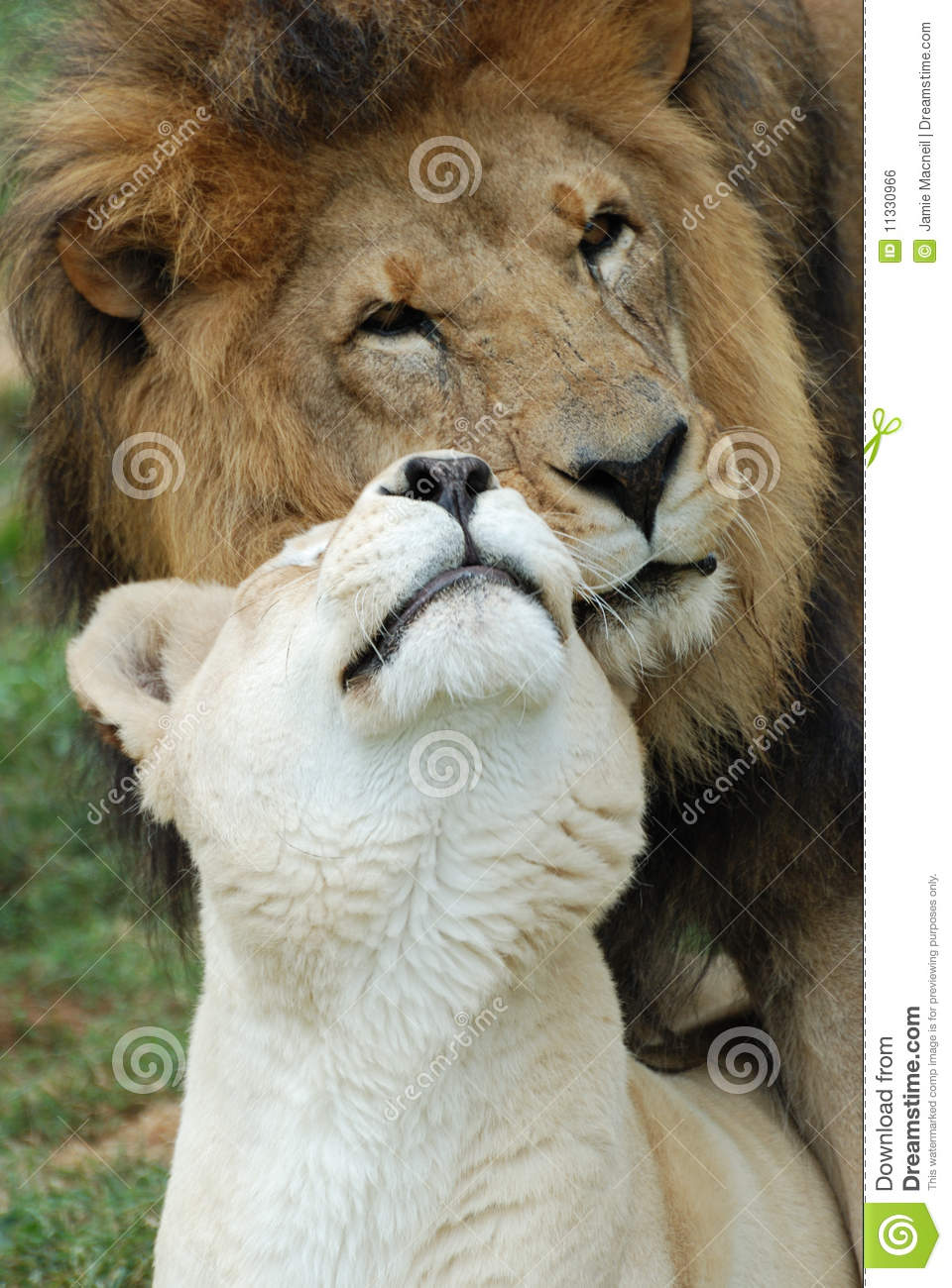 African Yellow Hair Lions In Love Stock Photo Image Of Hair Animal Intense