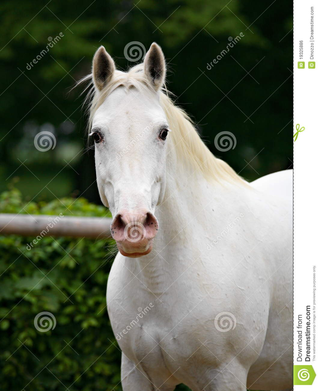 Girl Riding Horse Wallpaper Lipizzan Horse Stock Photo Image Of Friendly Face Mare