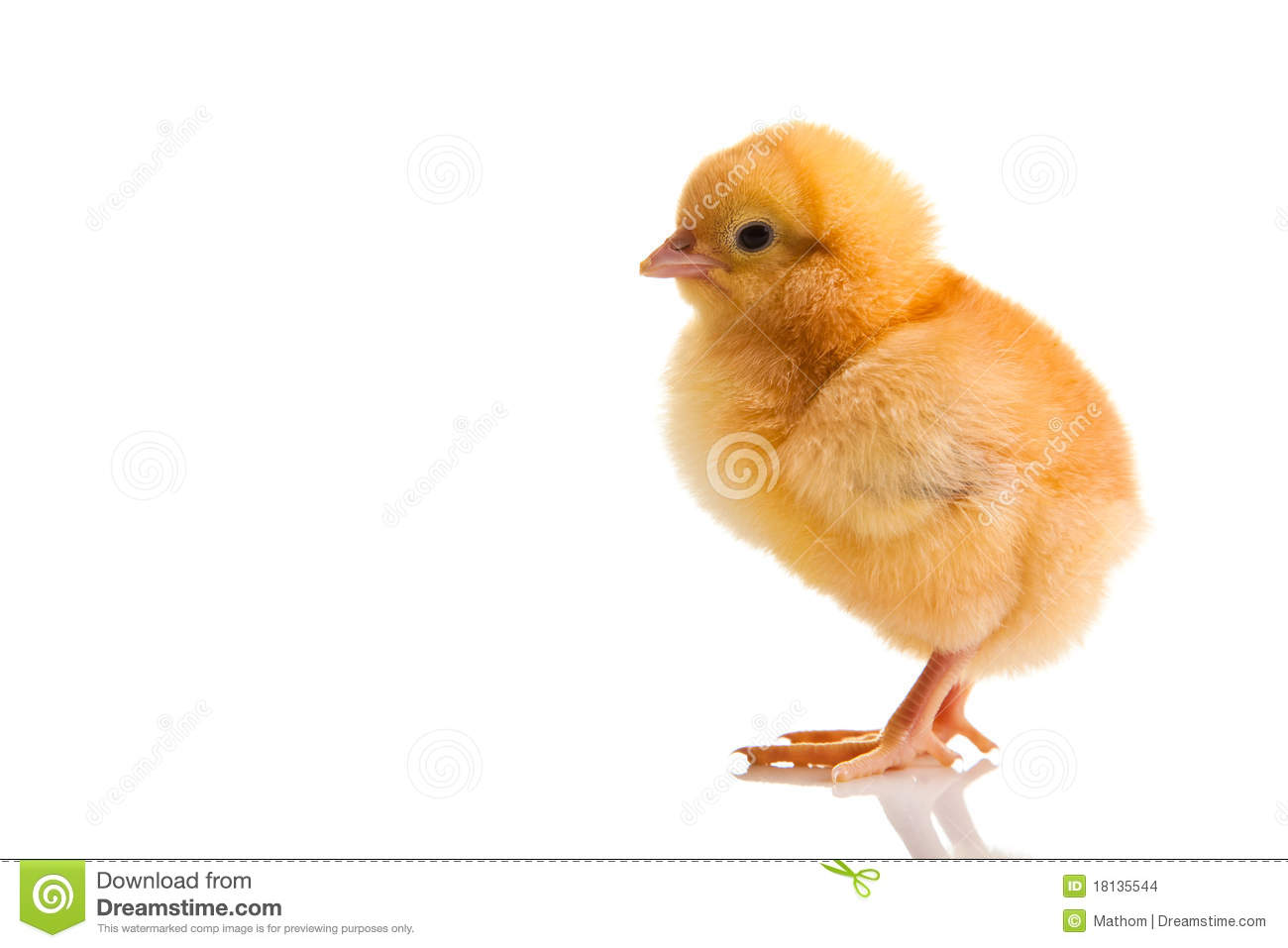 Little Chicken Animal Isolated Stock Photo Image Of Baby