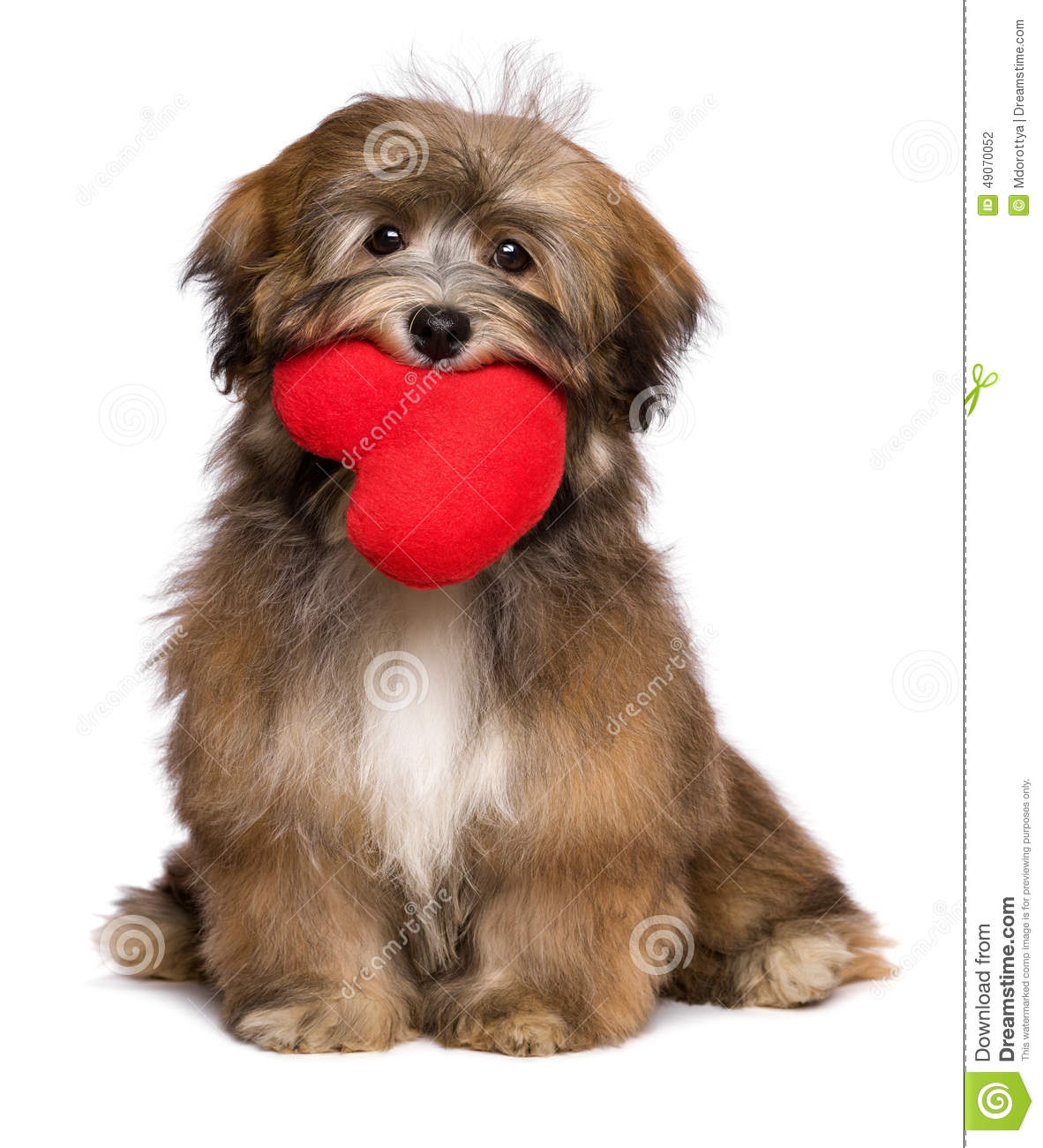 Cute Shih Tzu Puppies Wallpaper Lover Havanese Puppy Dog Is Holding A Red Heart In Her