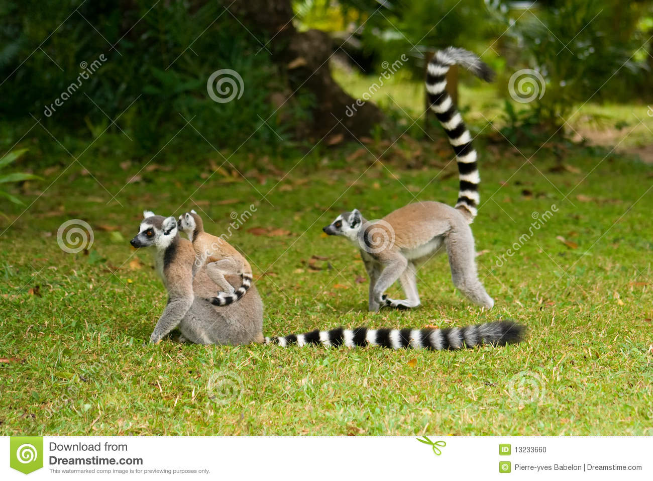 Maki Animale Maki Lemur Du Madagascar Photo Stock Image Du Animal