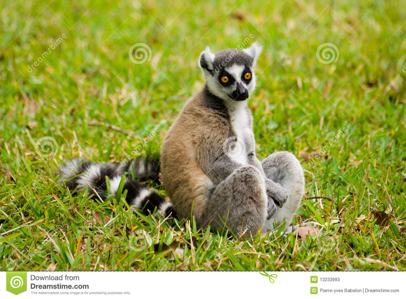 Maki Animale Maki Lemur Of Madagascar Stock Image Image Of Monkey