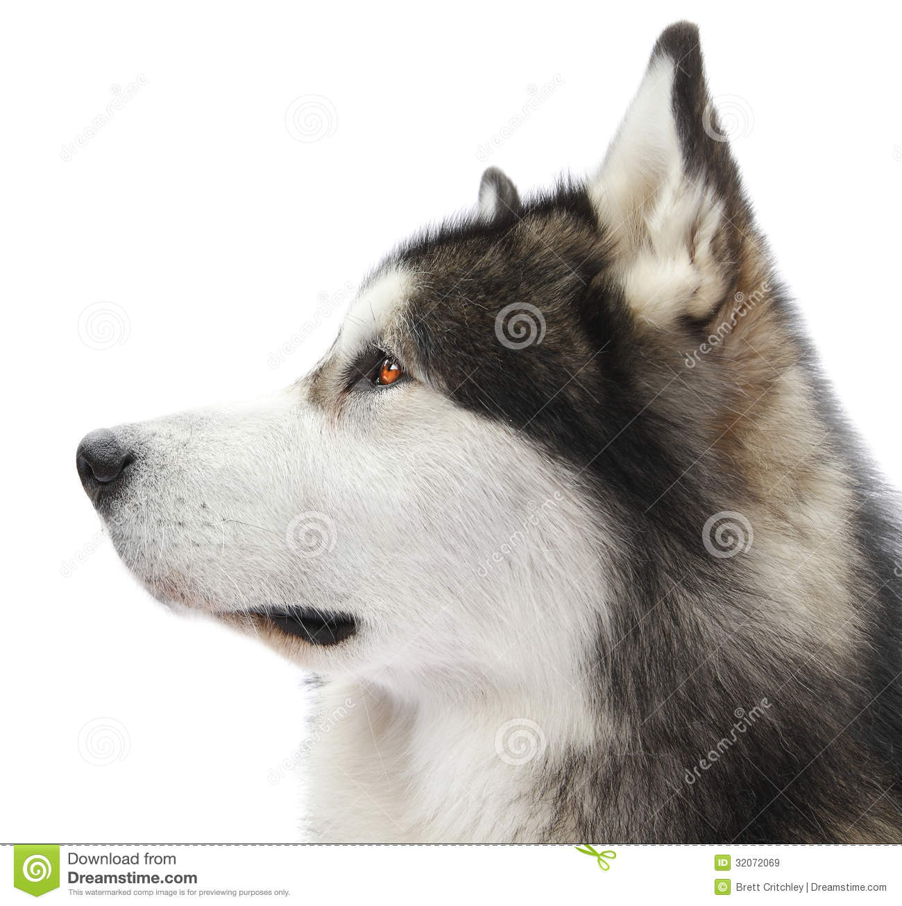 Bettwäsche Dog Side My Side Malamute Dog Portrait Royalty Free Stock Images Image