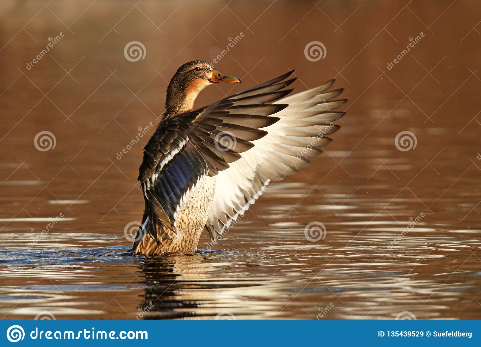 Flapon Female Mallard Flap On Gold Water Stock Image Image Of Flapping