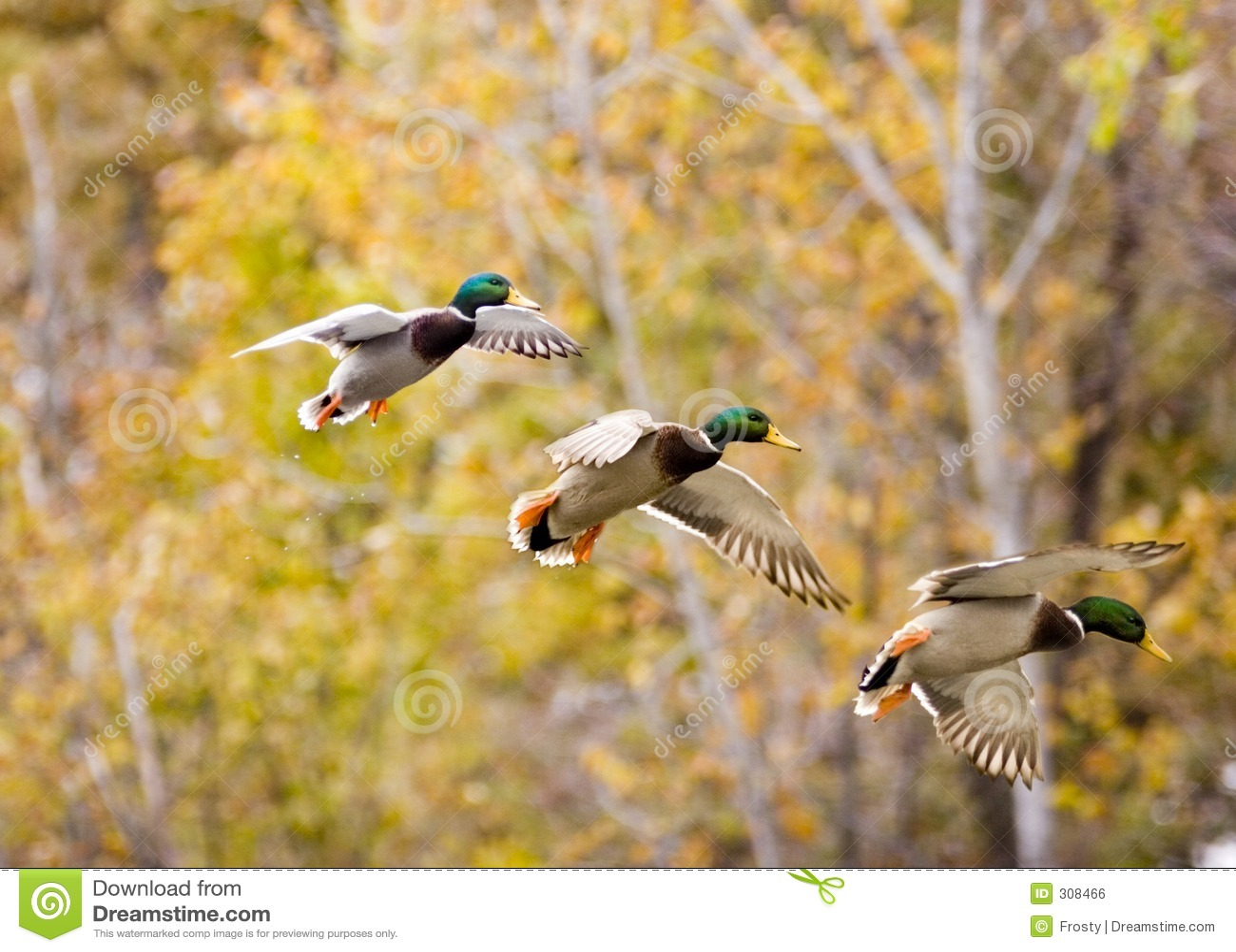 Fall Hunting Wallpaper Mallard In Sequence Stock Photo Image Of Bird Wild