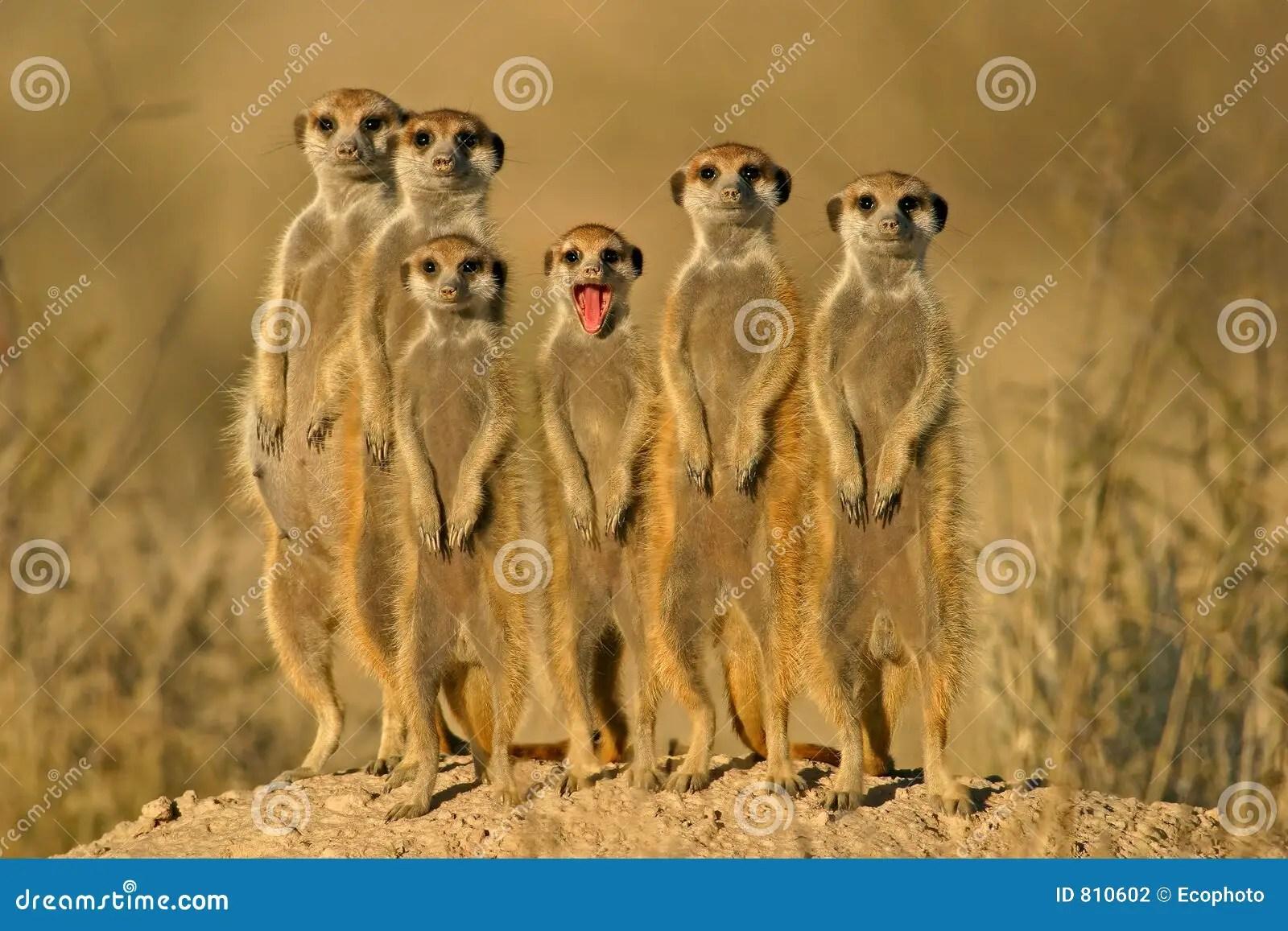 Bing Fall Wallpaper Meerkat Suricate Family Kalahari South Africa Stock