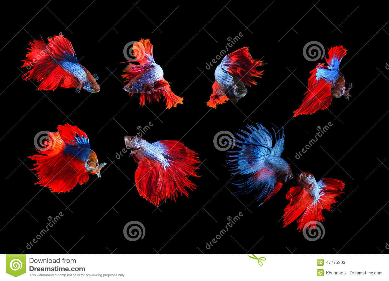 Fighter Fish Hd Wallpaper Download Mixed Of Blue And Red Siamese Fighting Fish Betta Full