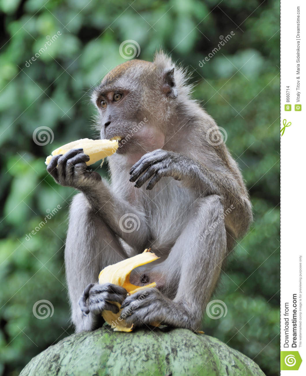 Lion Picture Clipart Monkey Eating Banana Stock Images Image 8660714
