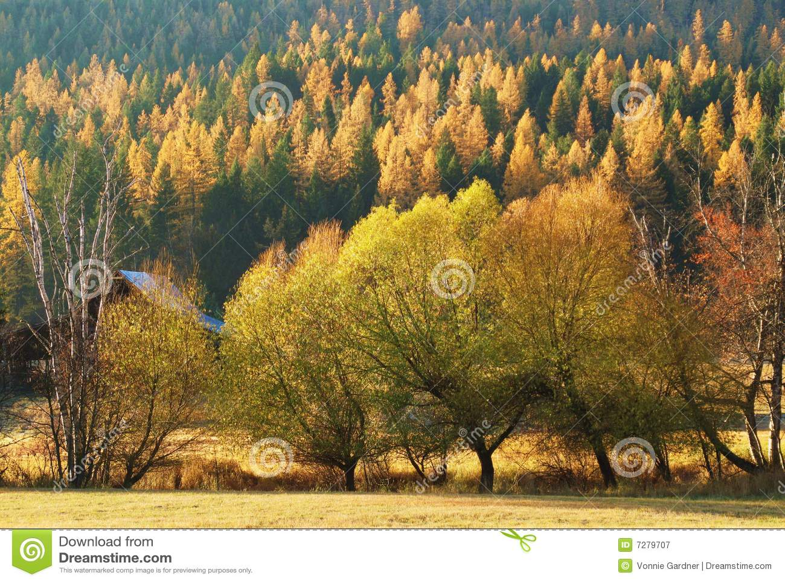 Free Fall Tree Wallpaper Montana Autumn Larch Trees Royalty Free Stock Photography