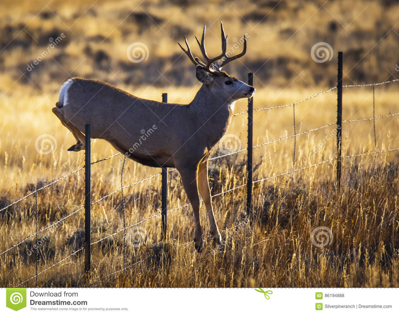 Fall Vector Wallpaper Mule Deer Jumping Fence Stock Photo Image Of Outdoors