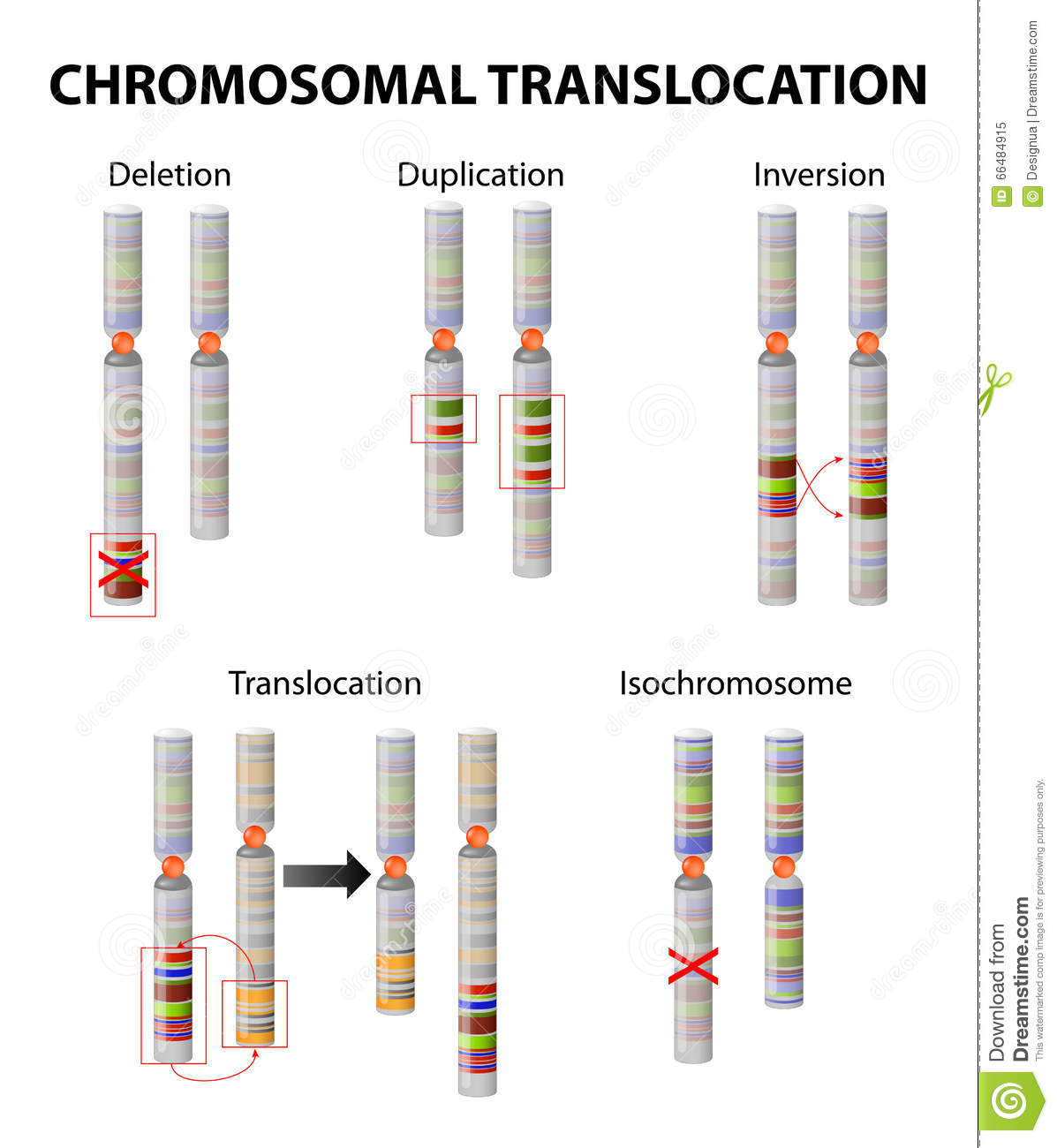 Chromosome Deletion Mutation Chromosome Abnormality Stock Vector