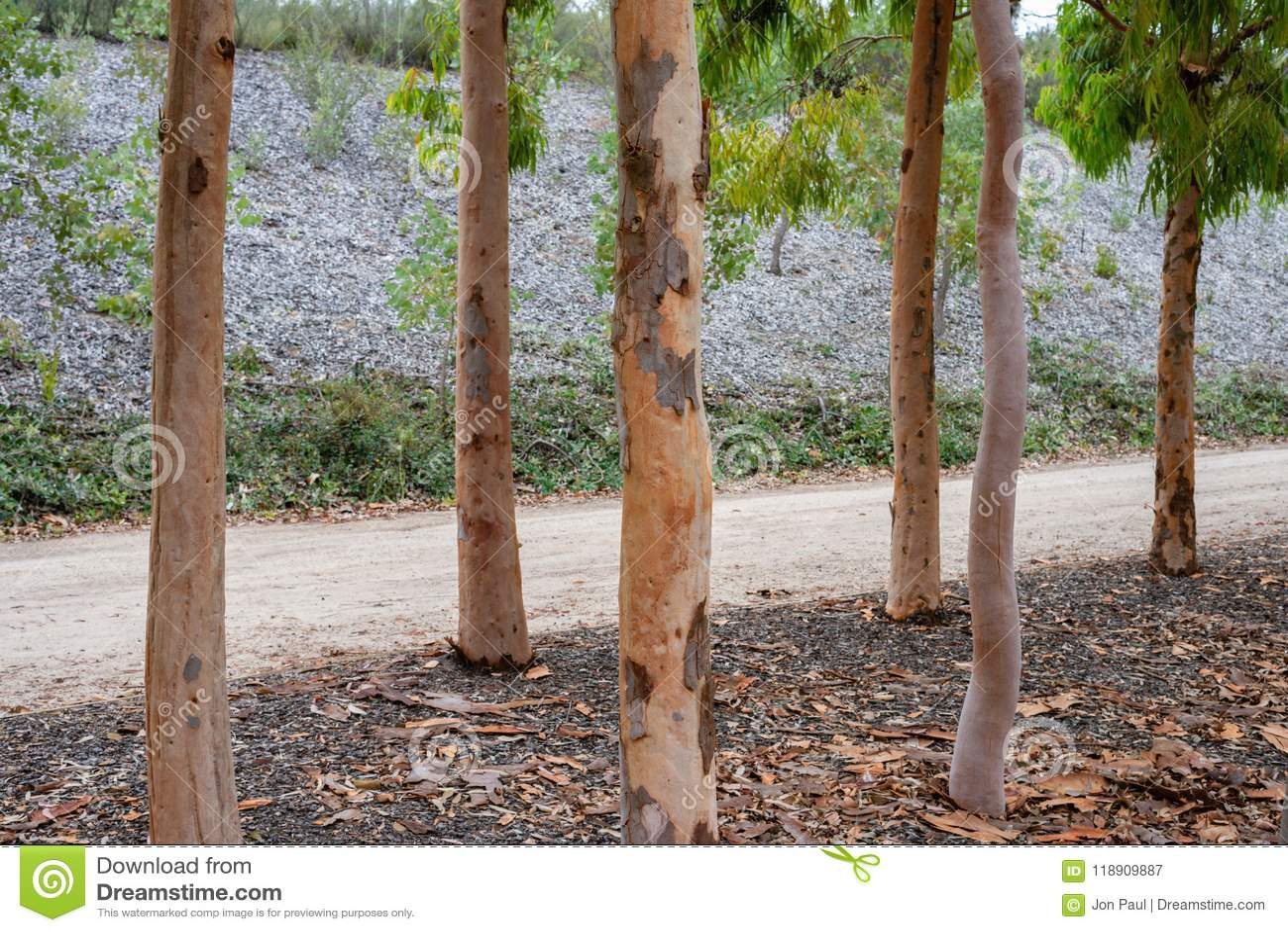 native australian silver birch trees in the royal botanic gardens victoria stock image