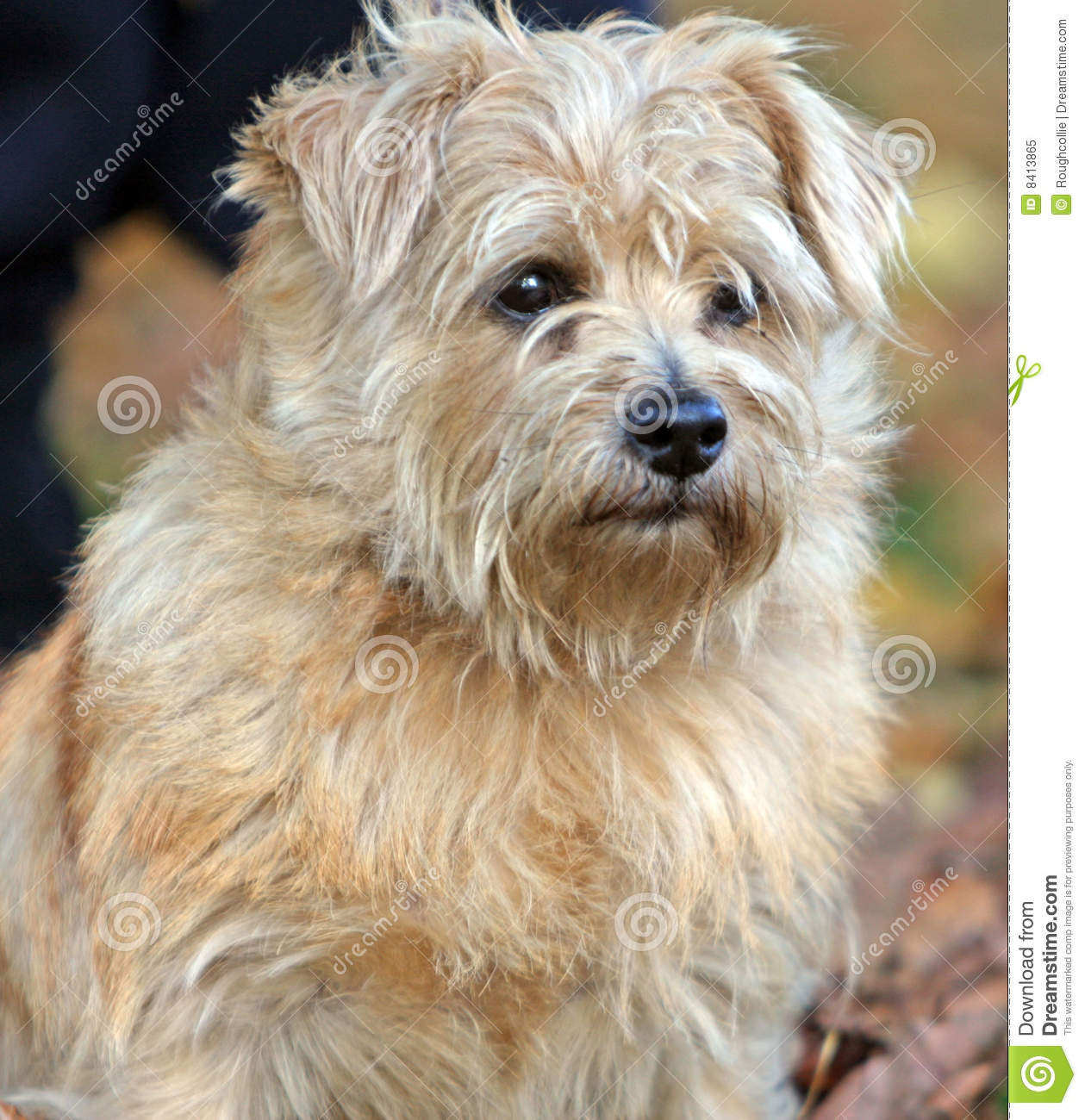 Fall Dog Wallpaper Norfolk Terrier Royalty Free Stock Photo Image 8413865