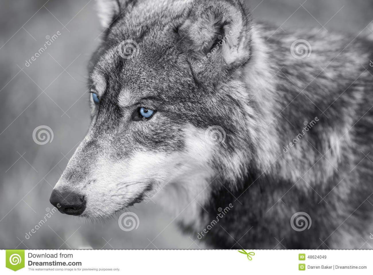 Blauw Grijze Ogen North American Gray Wolf With Blue Eyes Stock Image