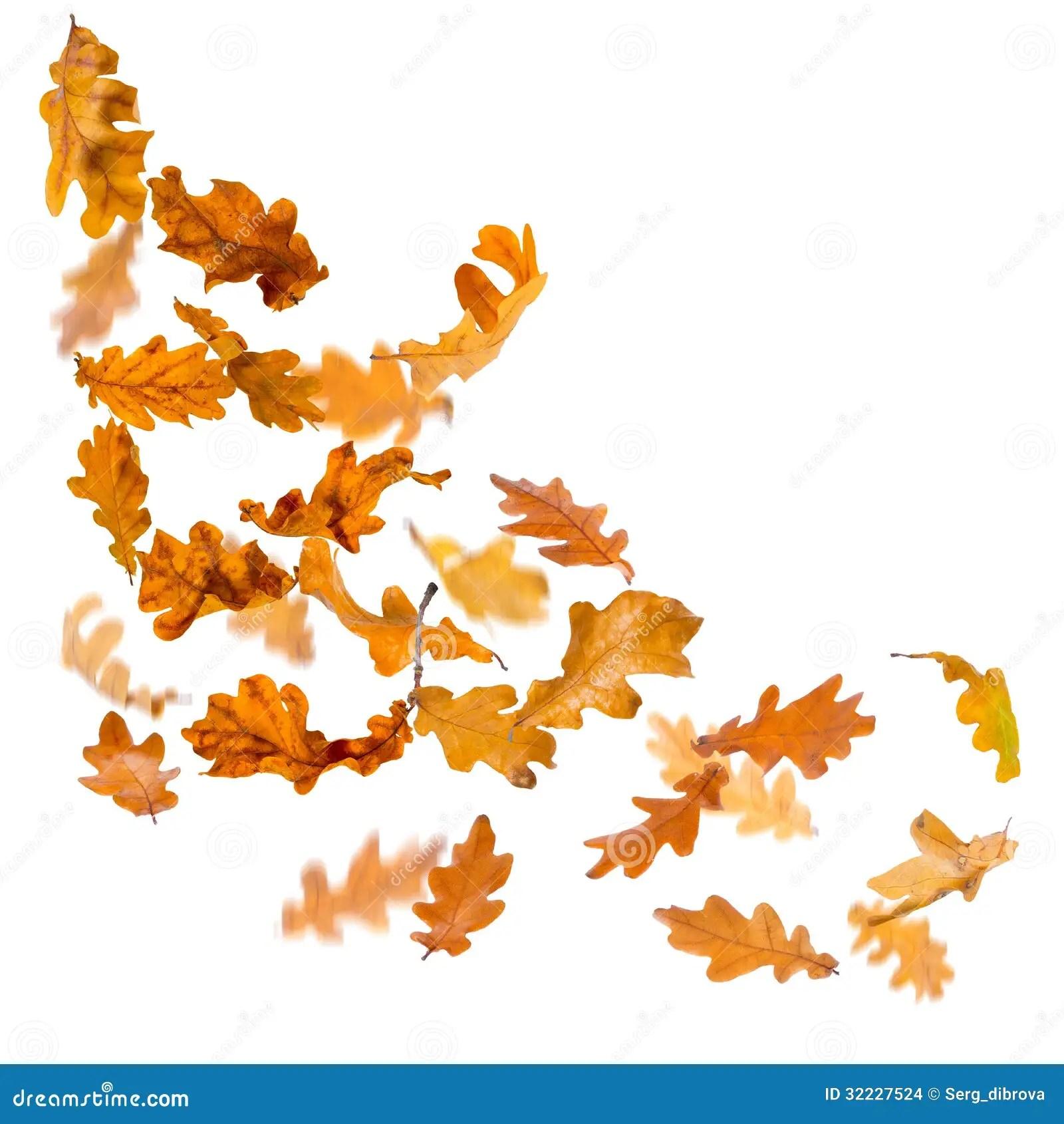 Falling Leaves Animated Wallpaper Oak Leaves Falling Stock Images Image 32227524