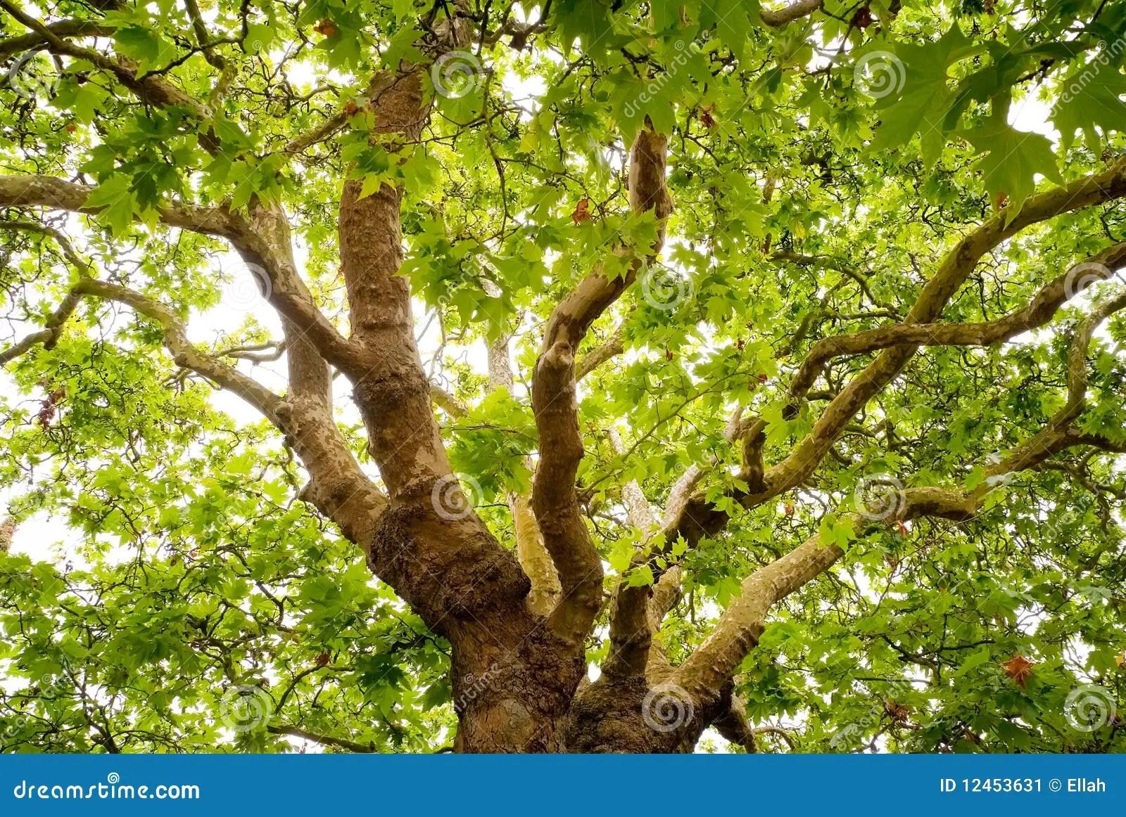 Free Fall Tree Wallpaper Old Oak Tree Stock Image Image 12453631