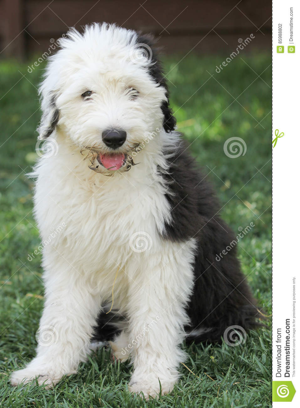 Are Old English Olivia A Female Old English Sheepdog Puppy Stock Photo Image Of