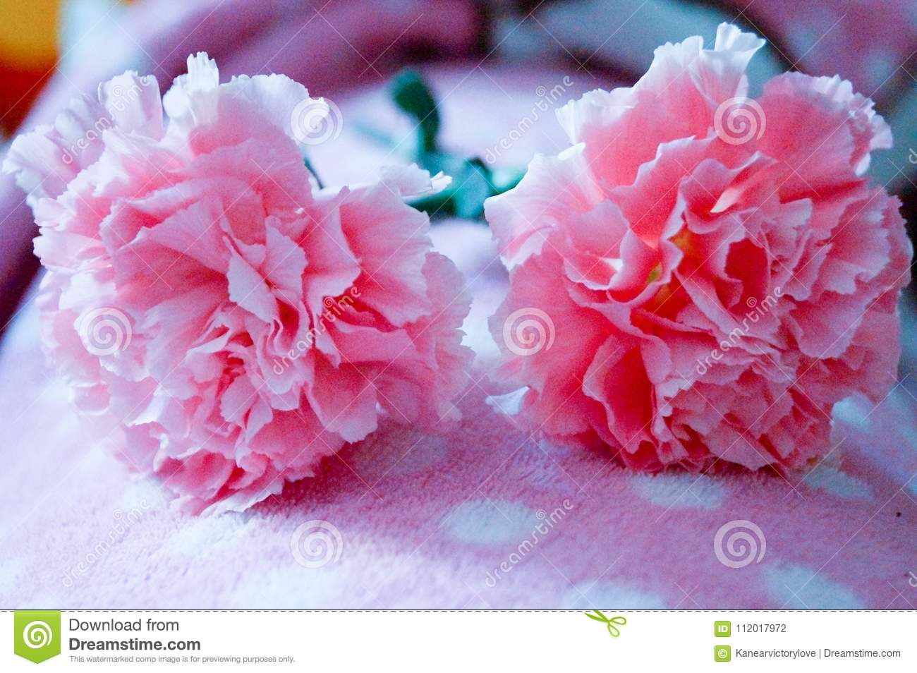 Beautiful One One Pink Carnation On Blanket So Beautiful And Soft Stock Photo