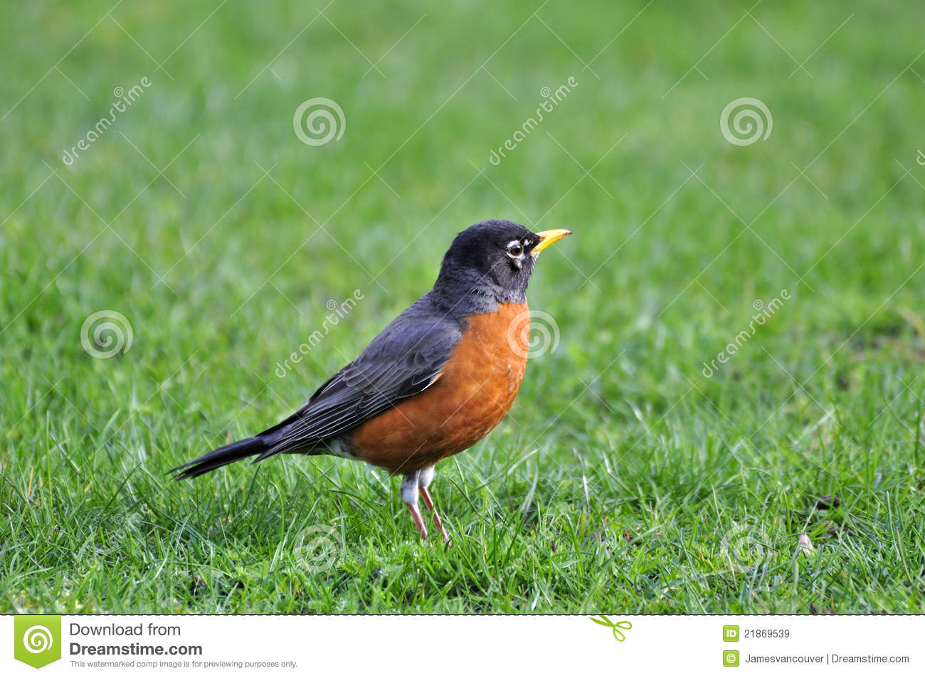 Vogel Met Oranje Snavel Orange Bellied Black Bird On The Lawn Stock Image Image