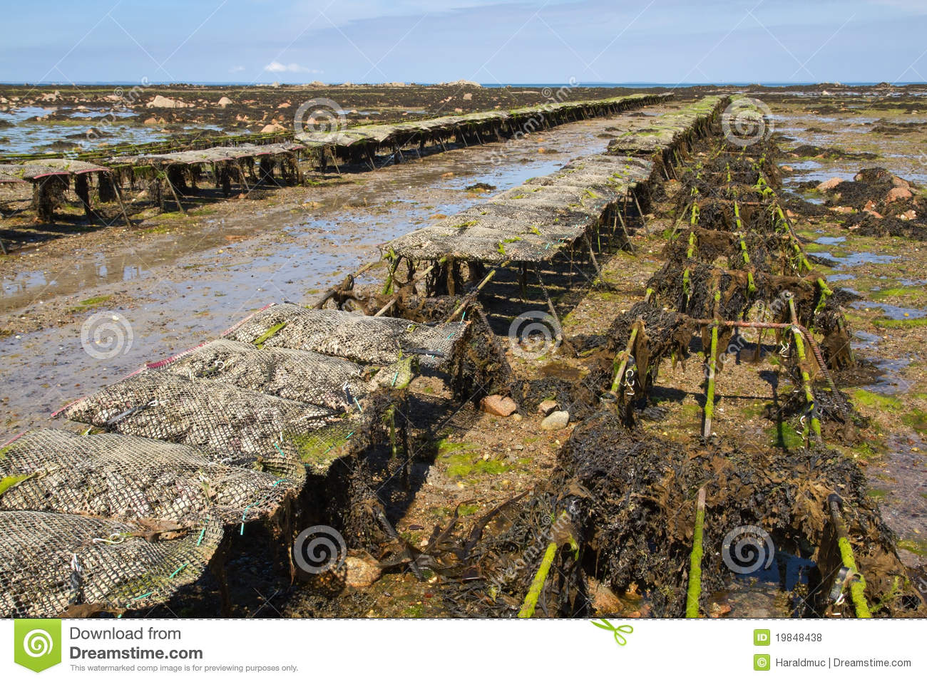 Oyster Max Basket Oyster Farming On Jersey Uk Stock Photo Image Of
