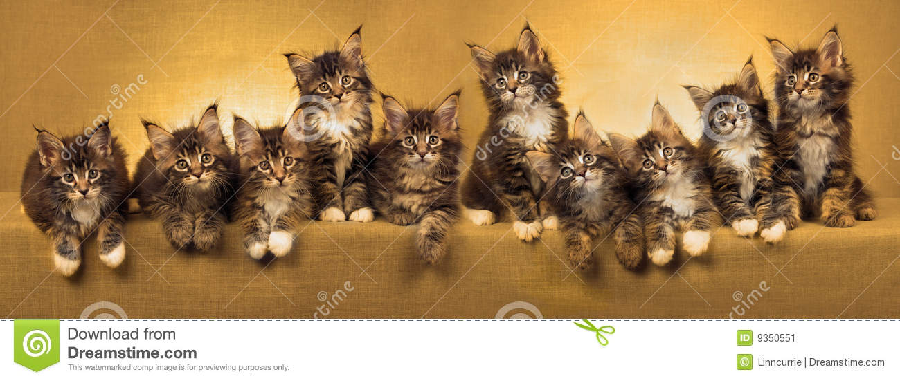 Cute Line Wallpaper Panorama Collage Of Maine Coon Kittens Stock Image Image