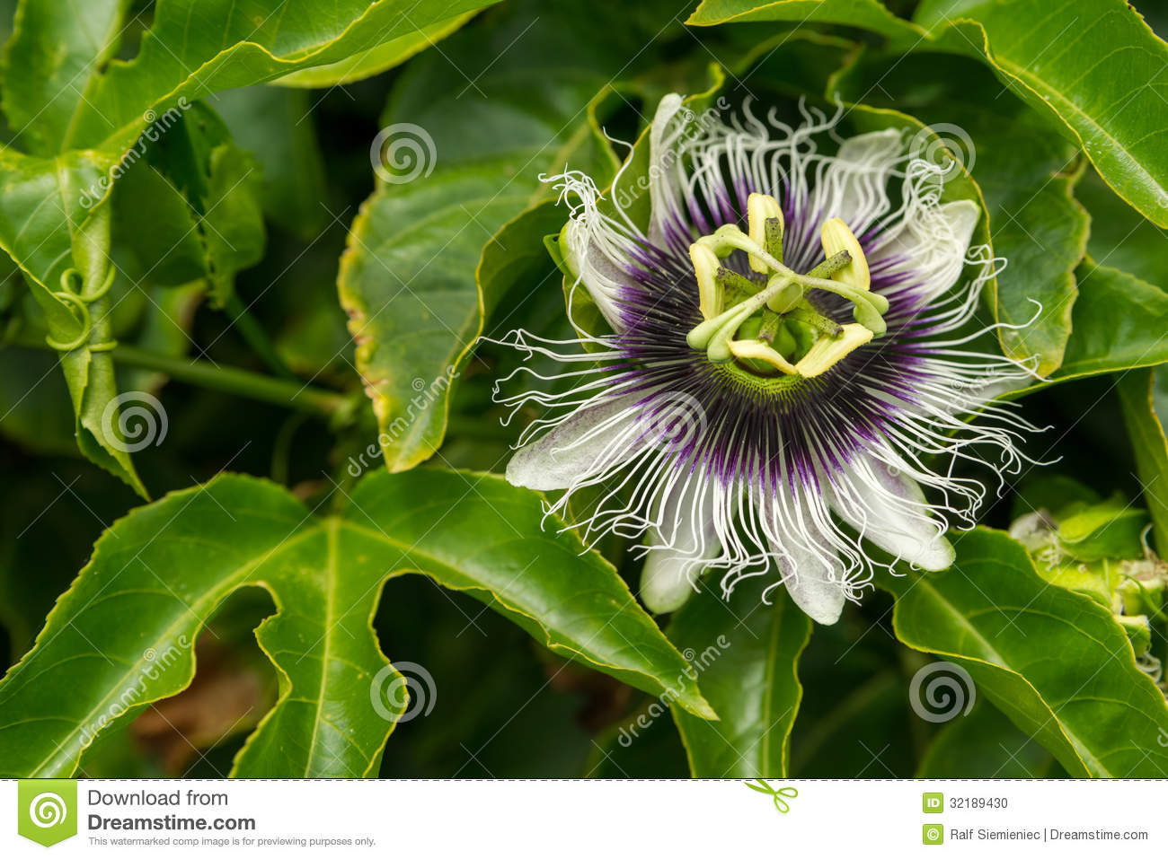 Passiflora Edulis Passiflora Edulis Stock Photo Image Of Horizontal Ingles